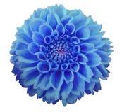 蓝色大丽花花,白色背景隔绝与裁减路线 特写镜头 免版税库存图片