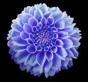 蓝色大丽花花,黑背景隔绝与裁减路线 特写镜头 库存照片