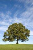 蓝色大橡木俏丽的天空结构树 库存照片