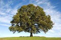 蓝色大橡木天空结构树 免版税图库摄影