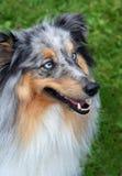 蓝色大牧羊犬眼睛 免版税库存照片