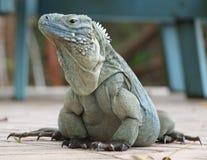 蓝色大鳄鱼鬣鳞蜥海岛 免版税库存照片