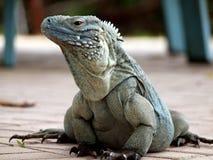 蓝色大鳄鱼鬣鳞蜥海岛 库存图片