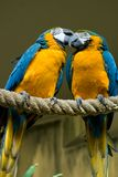 蓝色夫妇金金刚鹦鹉 免版税库存图片