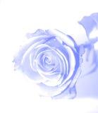 蓝色如纱上升了 免版税库存图片