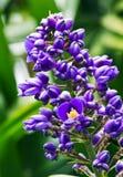 蓝色姜花植物 免版税库存照片