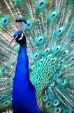 蓝色孔雀 库存图片