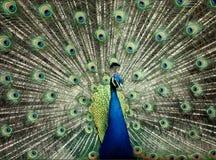 蓝色孔雀 图库摄影