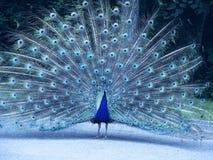 蓝色孔雀 免版税库存图片