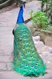 蓝色孔雀 库存照片