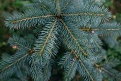 蓝色小云杉,与蓝色针的年轻杉树顶视图  库存图片