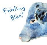 蓝色小牛感觉 免版税库存照片