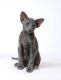 蓝色小猫东方人 免版税库存照片