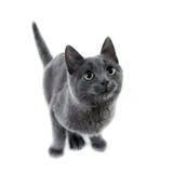 蓝色小猫俄语 免版税库存图片