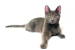 蓝色小猫俄语 库存图片