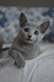 蓝色小猫俄语 免版税图库摄影