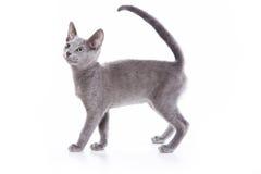 蓝色小猫俄语 免版税库存照片