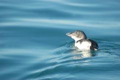 蓝色小的企鹅 免版税库存照片