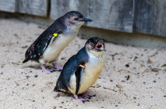 蓝色小的企鹅 图库摄影