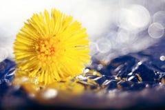 蓝色小花snowdrops,春天风景 免版税图库摄影