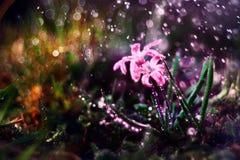 蓝色小花snowdrops,春天风景 免版税库存图片