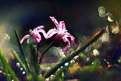 蓝色小花snowdrops,春天风景 库存图片