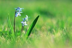 蓝色小花snowdrops,春天风景 免版税库存照片