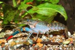 蓝色小龙虾 免版税图库摄影