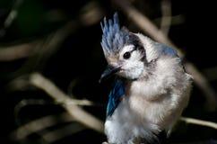 蓝色尖嘴鸟关闭 库存照片