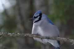 蓝色尖嘴鸟在树枝栖息 库存图片