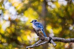 蓝色尖嘴鸟在秋天的一个分支栖息 免版税库存照片
