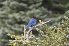 蓝色尖嘴鸟山 库存图片