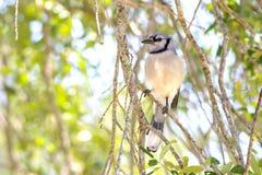 蓝色尖嘴鸟栖息结构树 库存照片