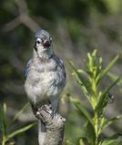 蓝色尖嘴鸟画象 图库摄影