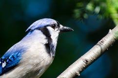 蓝色尖嘴鸟配置文件 库存图片