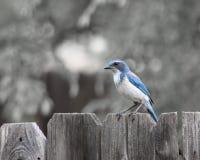 蓝色尖嘴鸟 图库摄影
