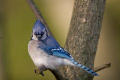 蓝色尖嘴鸟 免版税库存照片