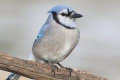 蓝色尖嘴鸟Cyanocitta cristata 免版税库存图片