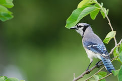 蓝色尖嘴鸟侧视图 免版税库存图片