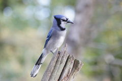 蓝色尖嘴鸟侧视图  库存图片