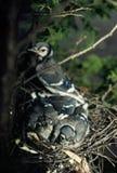 蓝色尖嘴鸟刚孵出的雏和父母 库存图片