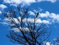 蓝色尖嘴鸟剪影 图库摄影