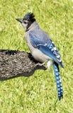 蓝色尖嘴鸟哺养 免版税库存照片