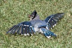 蓝色尖嘴鸟哺养 图库摄影