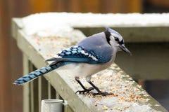 蓝色尖嘴鸟在一个加拿大2月冬天 免版税库存照片