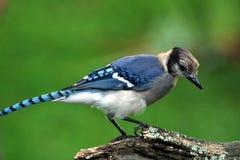 蓝色尖嘴鸟在科罗拉多 免版税库存照片