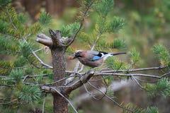蓝色尖嘴鸟在芬兰在树栖息 库存图片