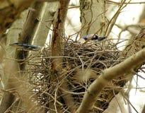 蓝色尖嘴鸟嵌套 图库摄影