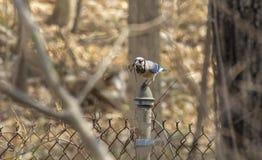 蓝色尖嘴鸟早期的春天 库存图片