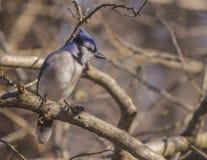 蓝色尖嘴鸟查找 库存照片
